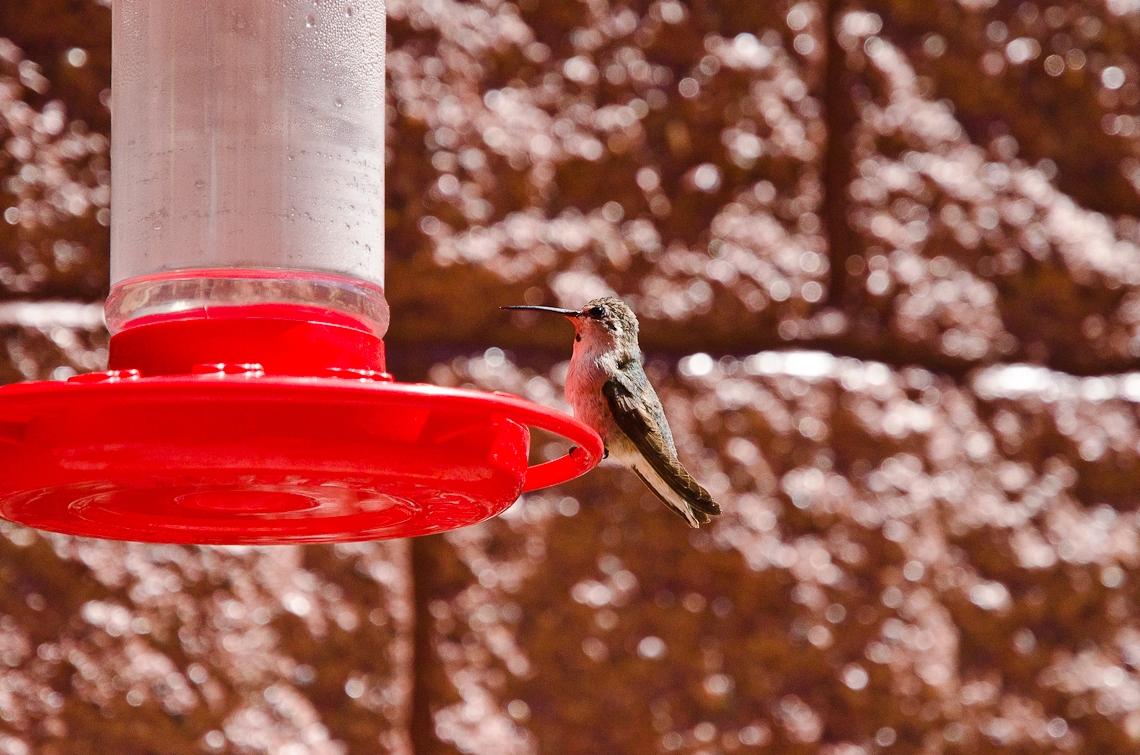 Valley of Fire, Hummingbird