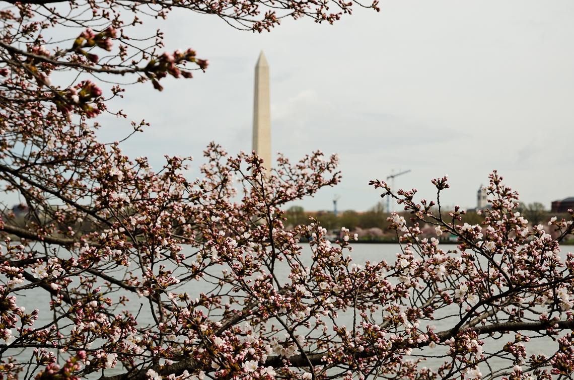 Washington, D.C., National Mall, Washington Monument, Cherry Blossom Festival, Sakura
