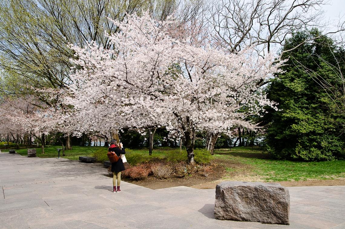 Washington, D.C., National Mall, Cherry Blossom Festival, Sakura, Sakura