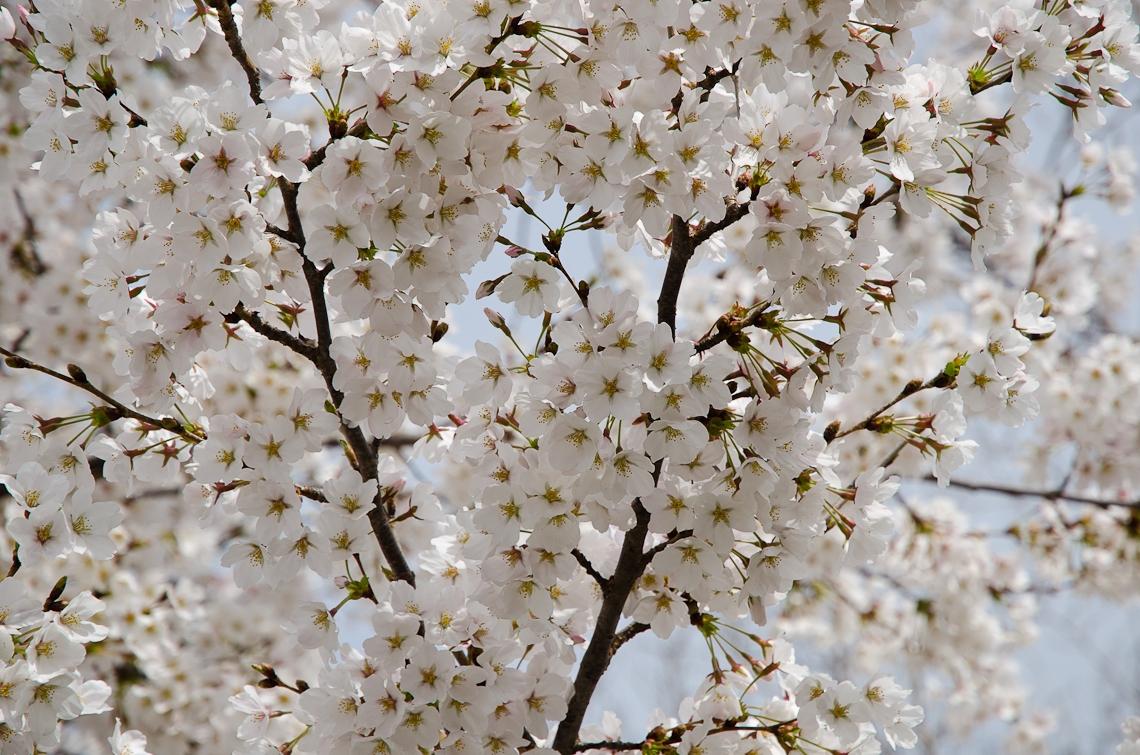 Washington, D.C., National Mall, Cherry Blossom Festival, Sakura