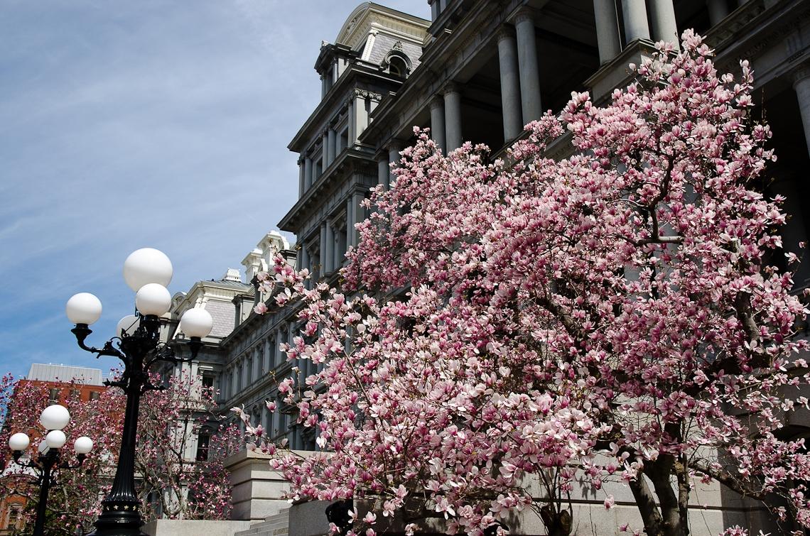 Washington, D.C., Cherry Blossom Festival, Sakura