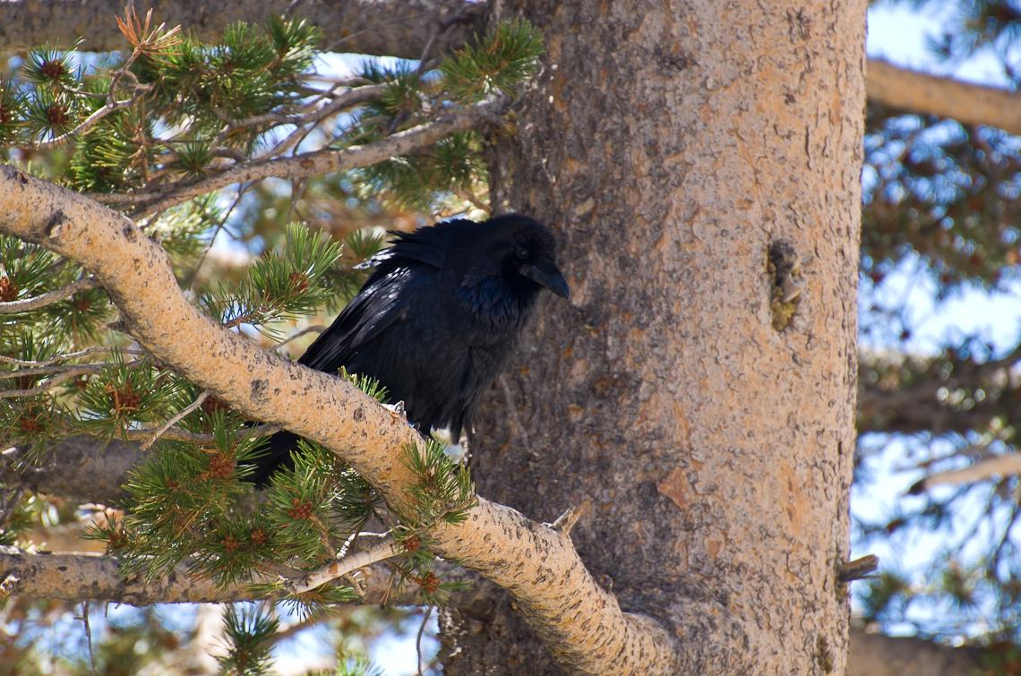 Йосемите, Ворон / Yosemite, Raven