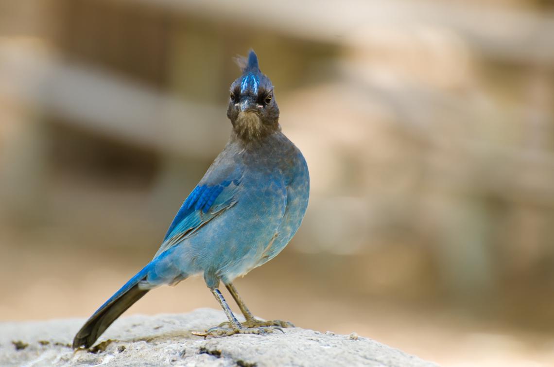 Йосемите, Птица / Yosemite, Bird