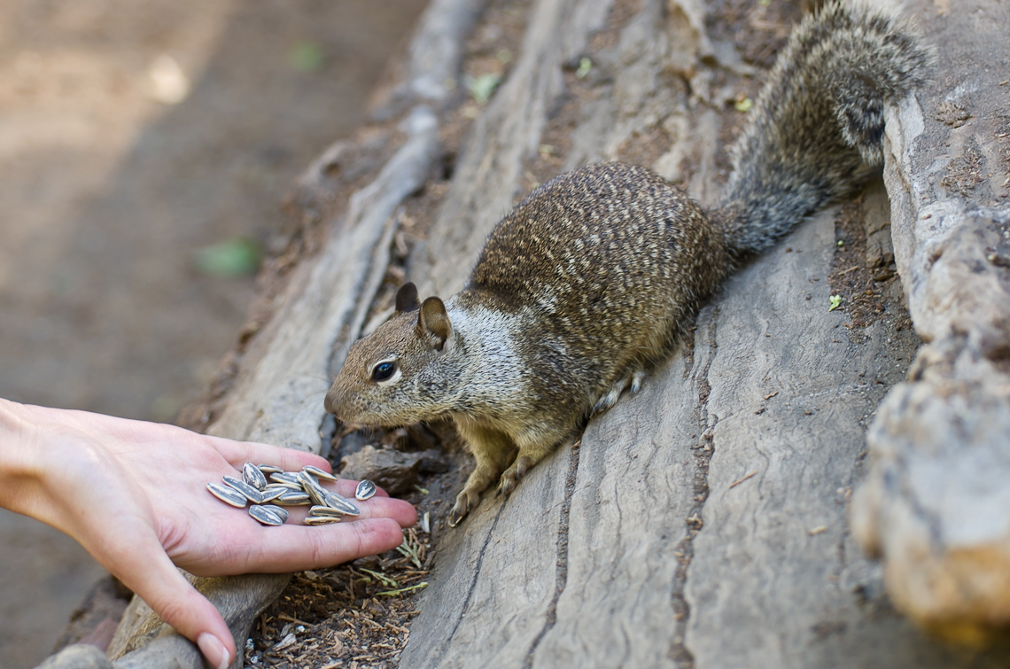 Йосемите, Белка / Yosemite, Squrrel