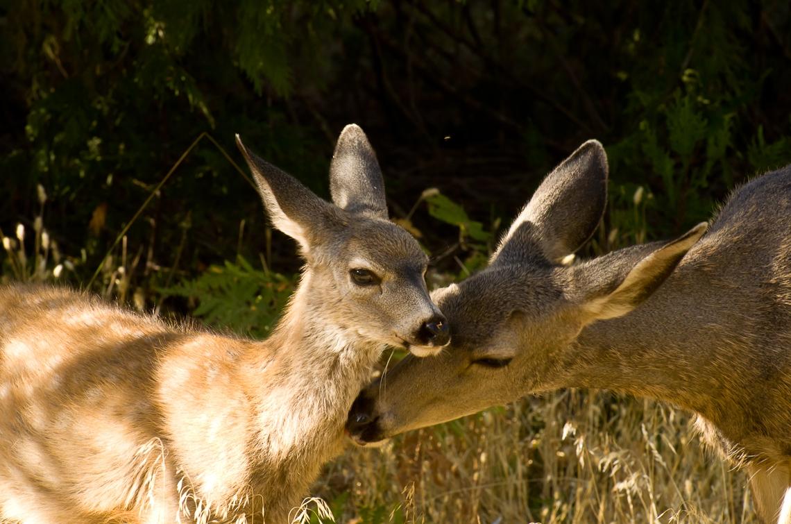 Йосемите, Олень, Олененок / Yosemite, Deer, Fawn, Bambi