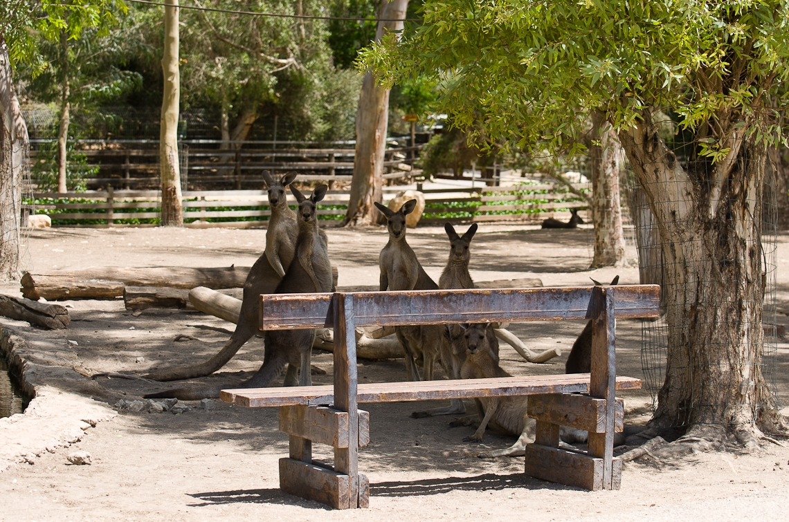 Israel, Gan Guru, Koala, Коала