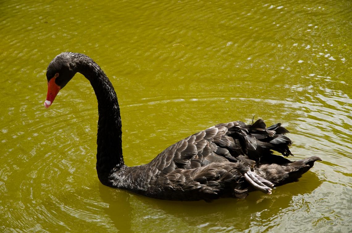 Israel, Gan Guru, Swan, Лебедь