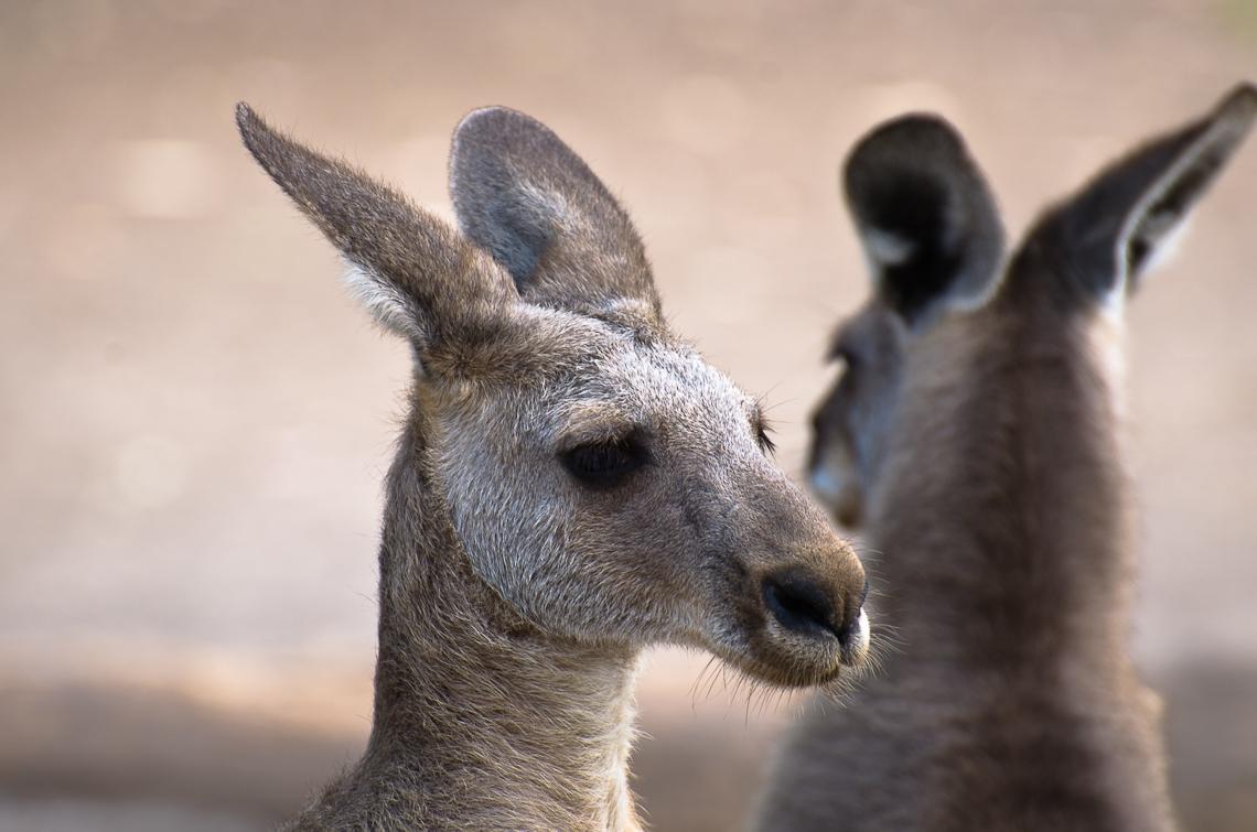 Israel, Gan Guru, Kangaroo, Кенгуру