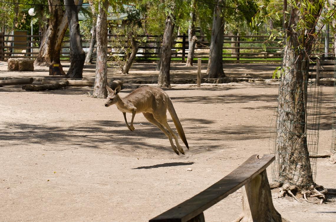 Israel, Gan Guru, Running Kangaroo, Кенгуру