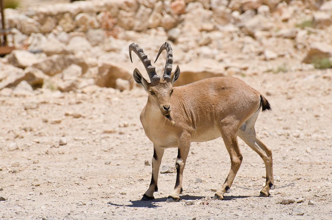 Israel, The Negev, The Nubian ibex, Пустныя Негев, Нубийский горный козел