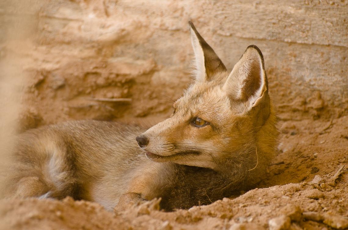 Israel, The Yotvata Hai-Bar Nature Reserve, Fox, Хай-Бар