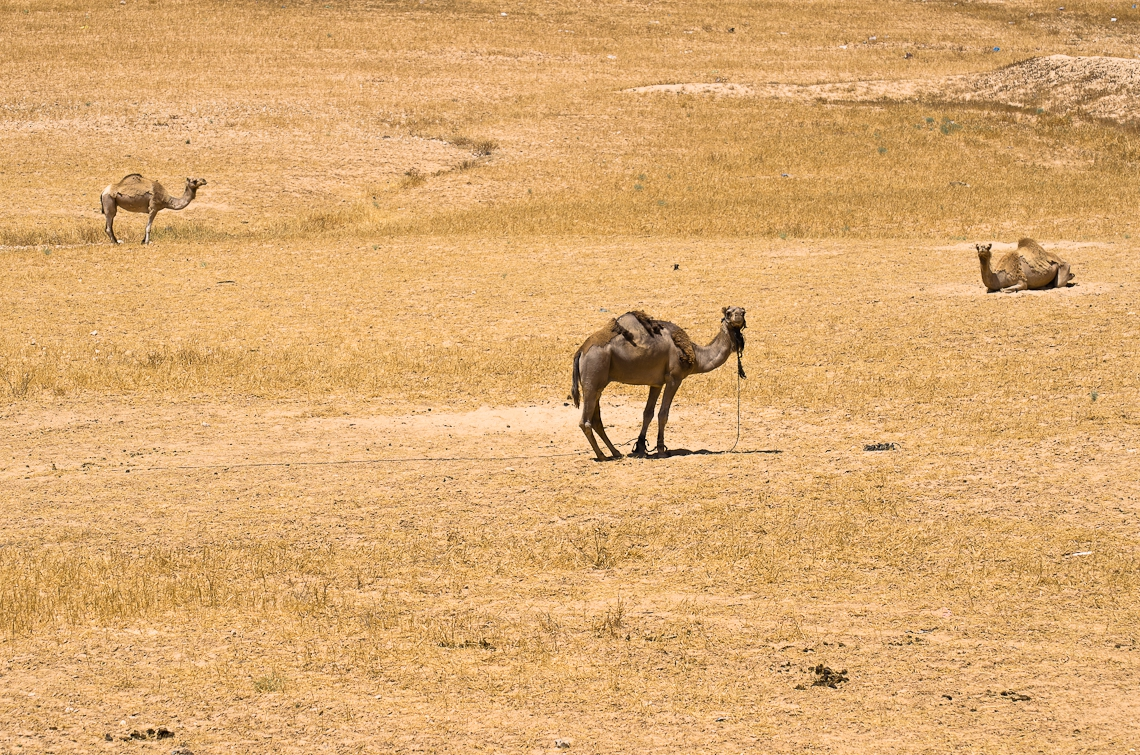 Israel, Camel, Верблюд