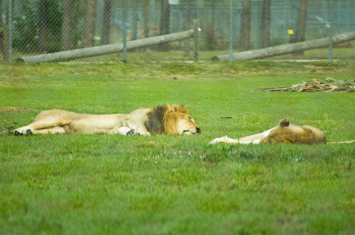 Lion Country Safari, Lions