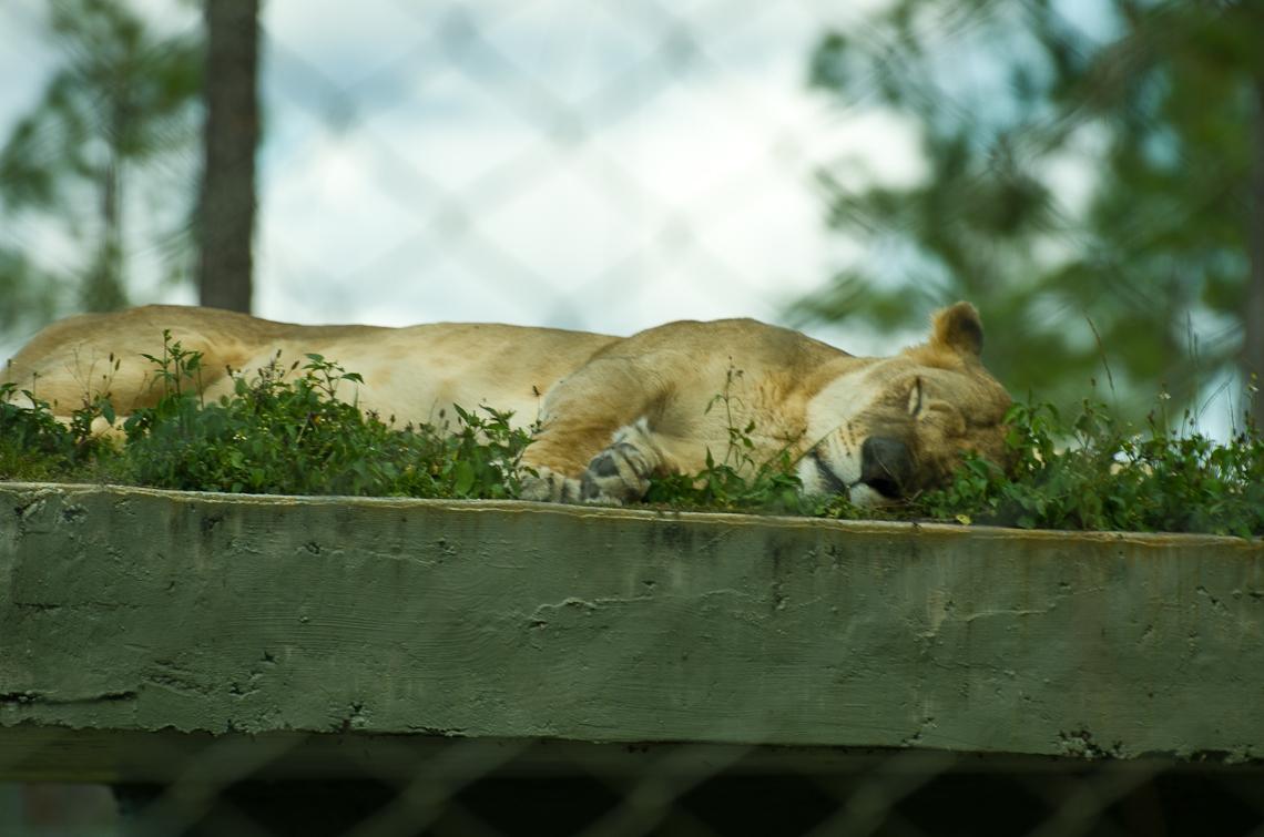 Lion Country Safari, Lion