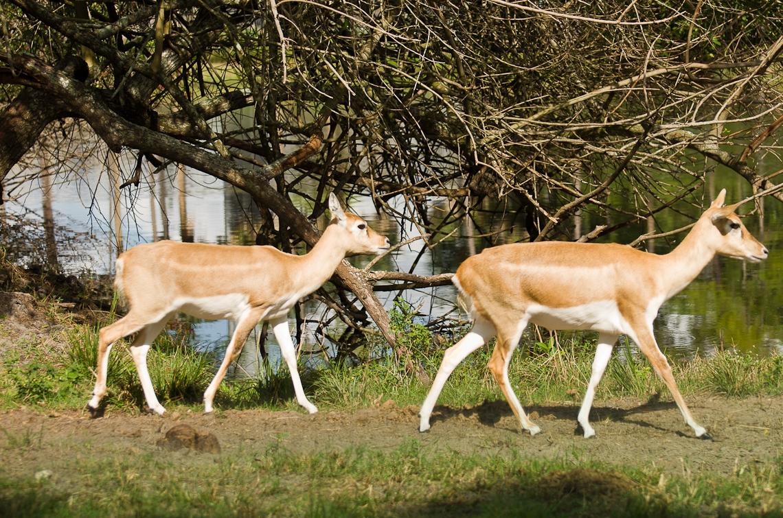 Lion Country Safari, Impala