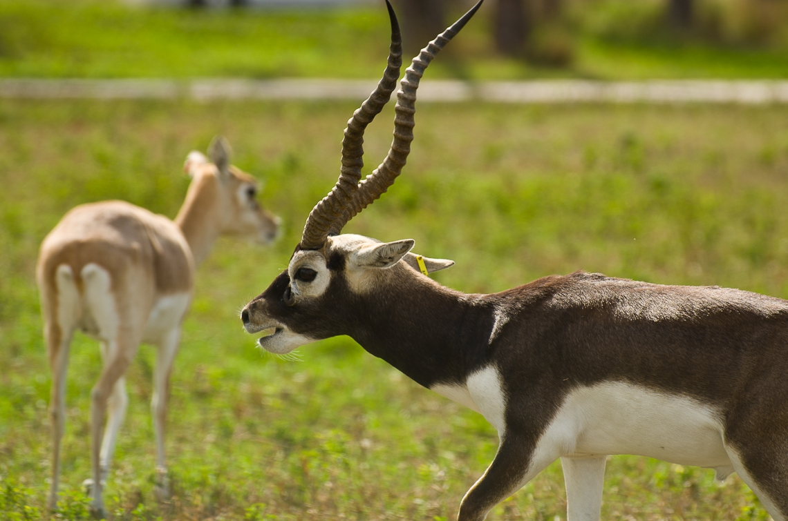 Lion Country Safari, Blackbuck