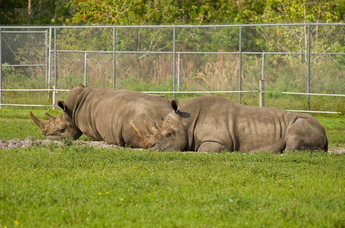 Lion Country Safari, Rhino