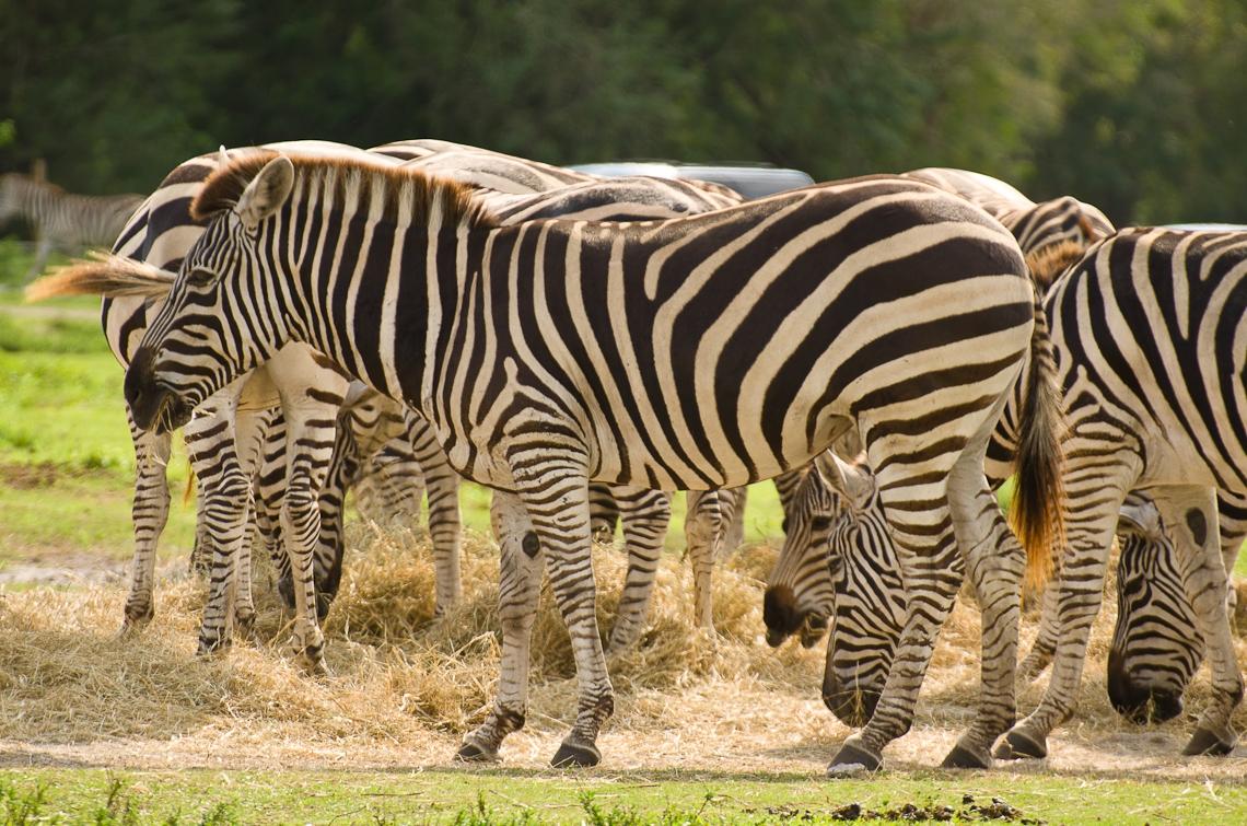 Lion Country Safari, Zebra