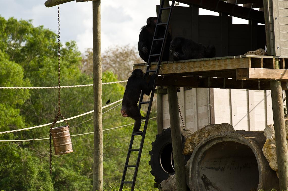 Lion Country Safari, Chimpanzee