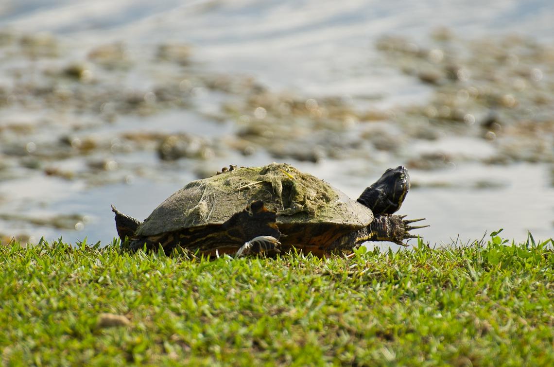 Lion Country Safari, Turtle