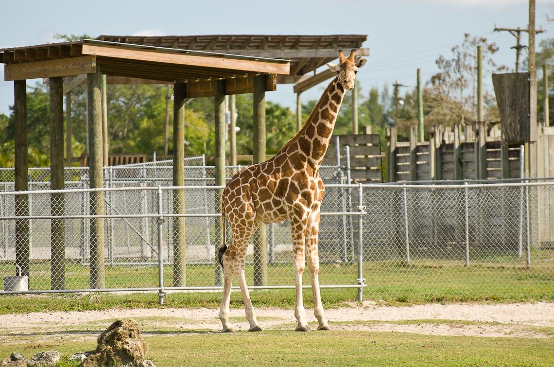 Lion Country Safari, Giraffe