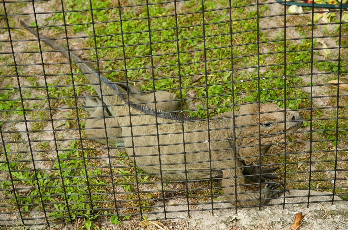 Lion Country Safari, Iguana