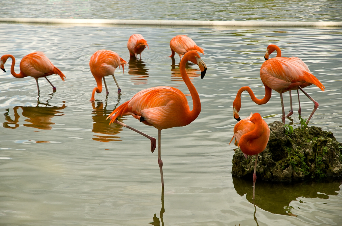 Lion Country Safari, Flamingo