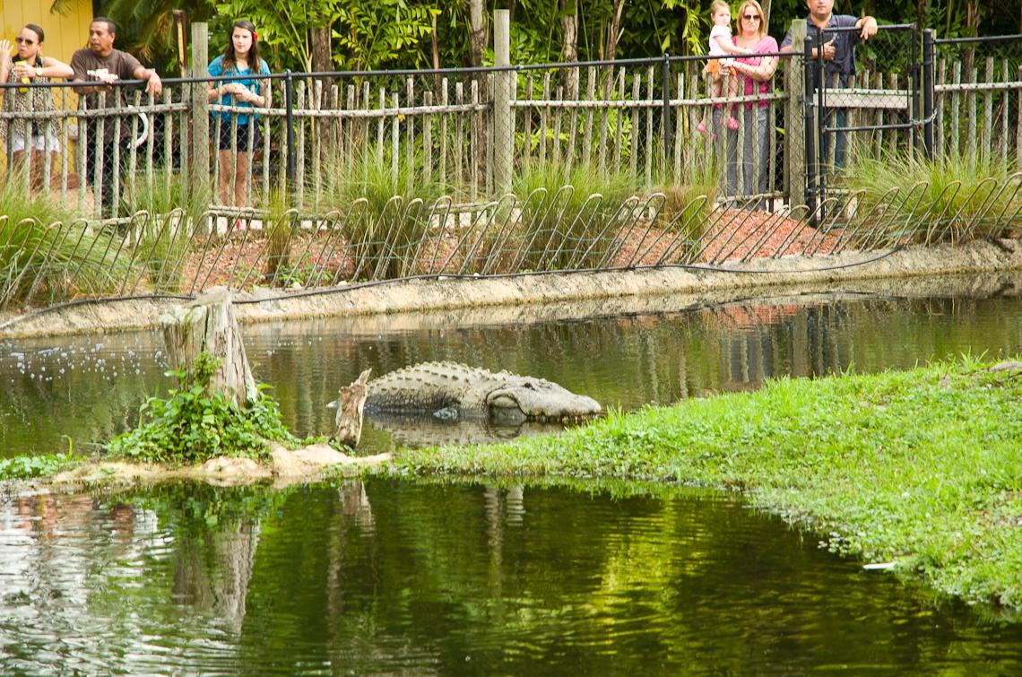Lion Country Safari, Alligator