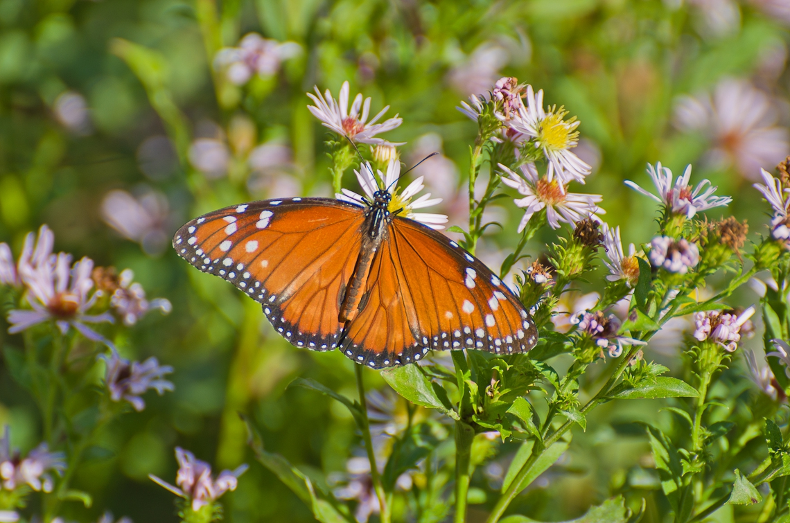 Corkscrew Regional Ecosystem Watershed, Butterfly, Бабочка