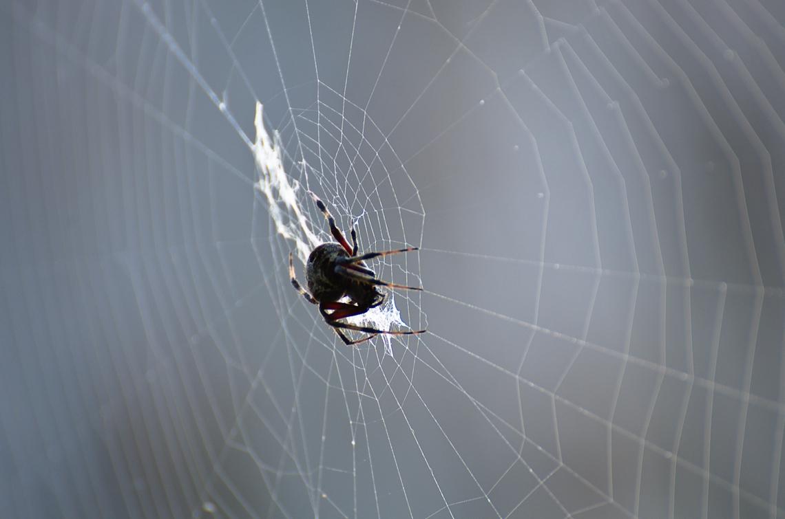 Corkscrew Regional Ecosystem Watershed, Spider, Паук