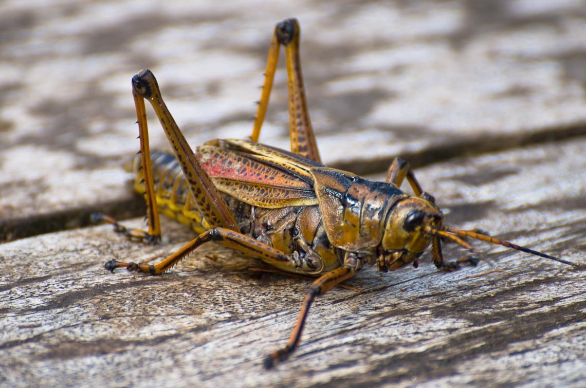 Corkscrew Regional Ecosystem Watershed, grasshopper, Кузнечик