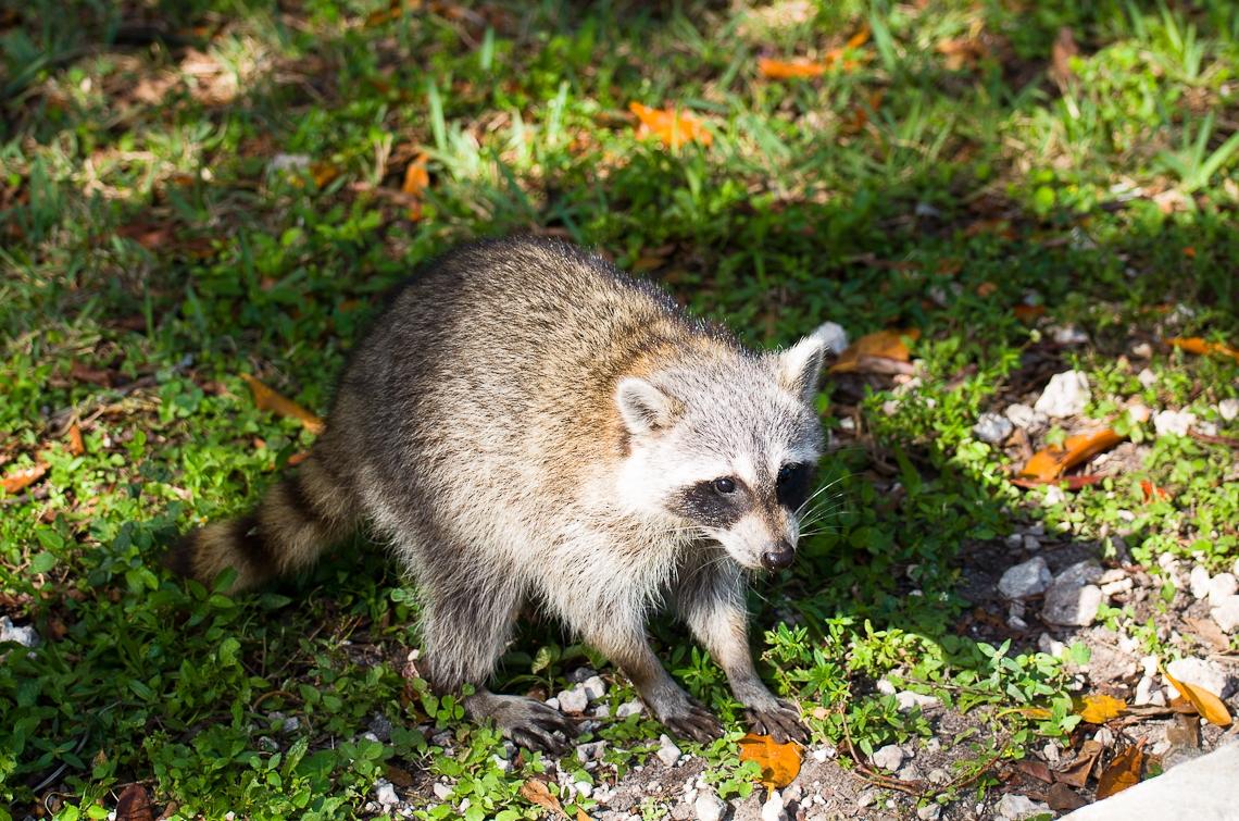 Miami, Greynolds Park, Raccoon