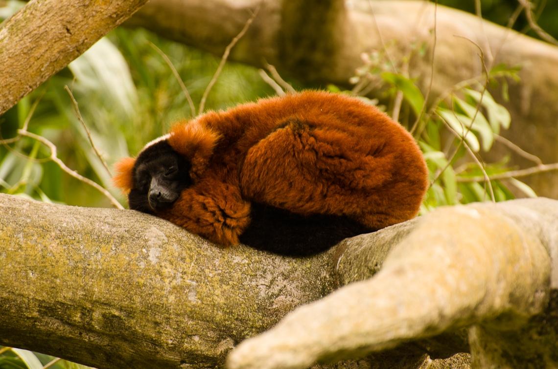 Miami, Zoo, Red panda