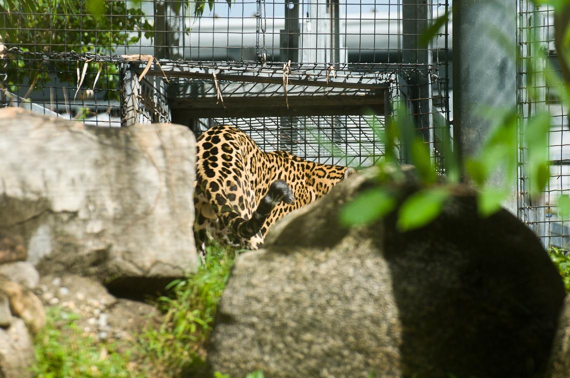 Miami, Zoo, Leopard