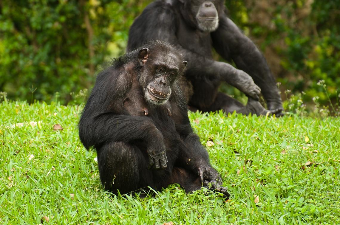 Miami, Zoo, Chimpanzee