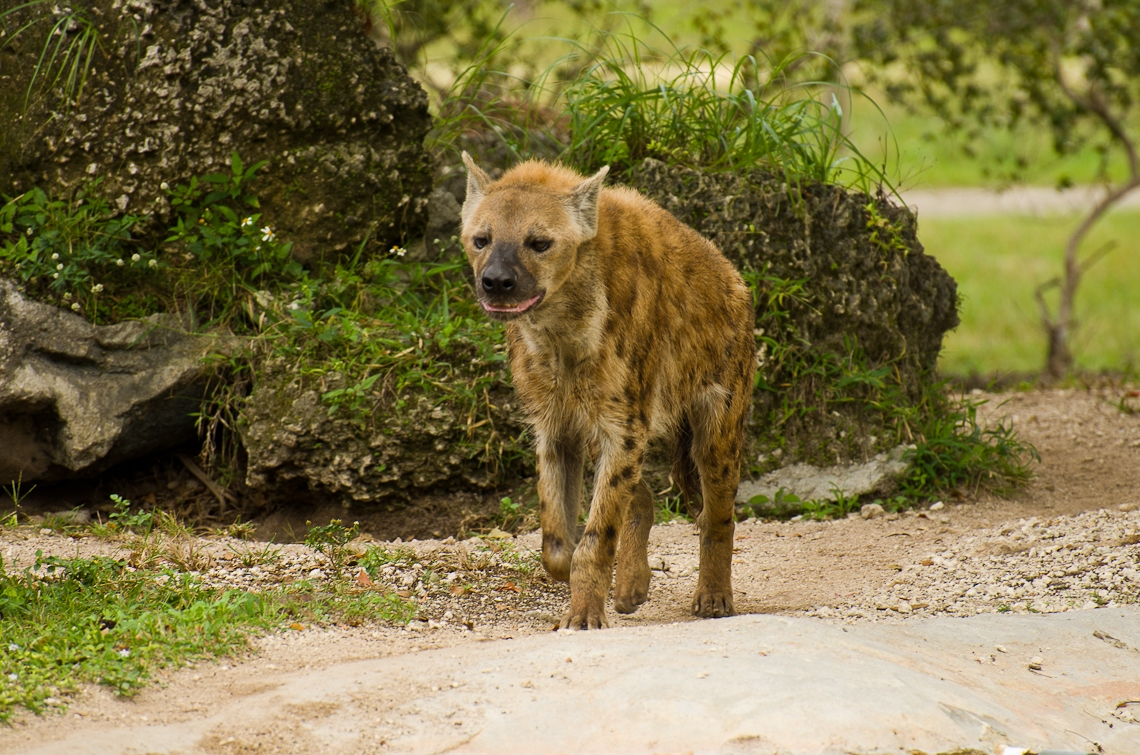 Miami, Zoo, Hyena
