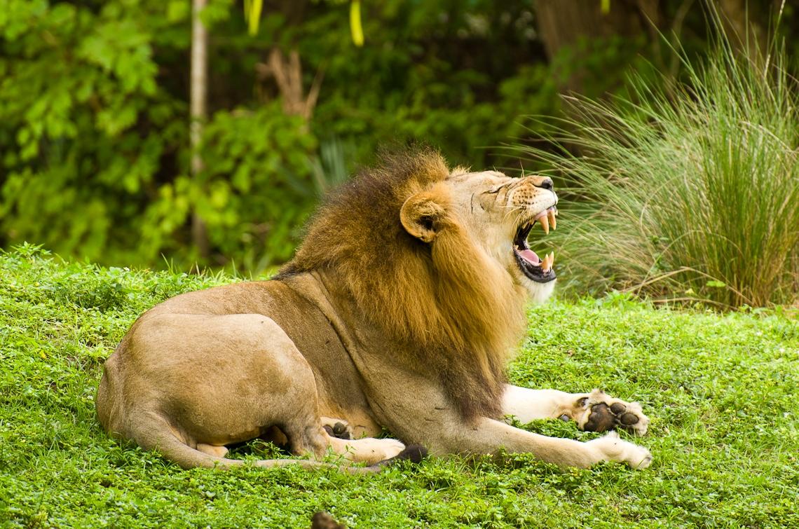 Miami, Zoo, Lion