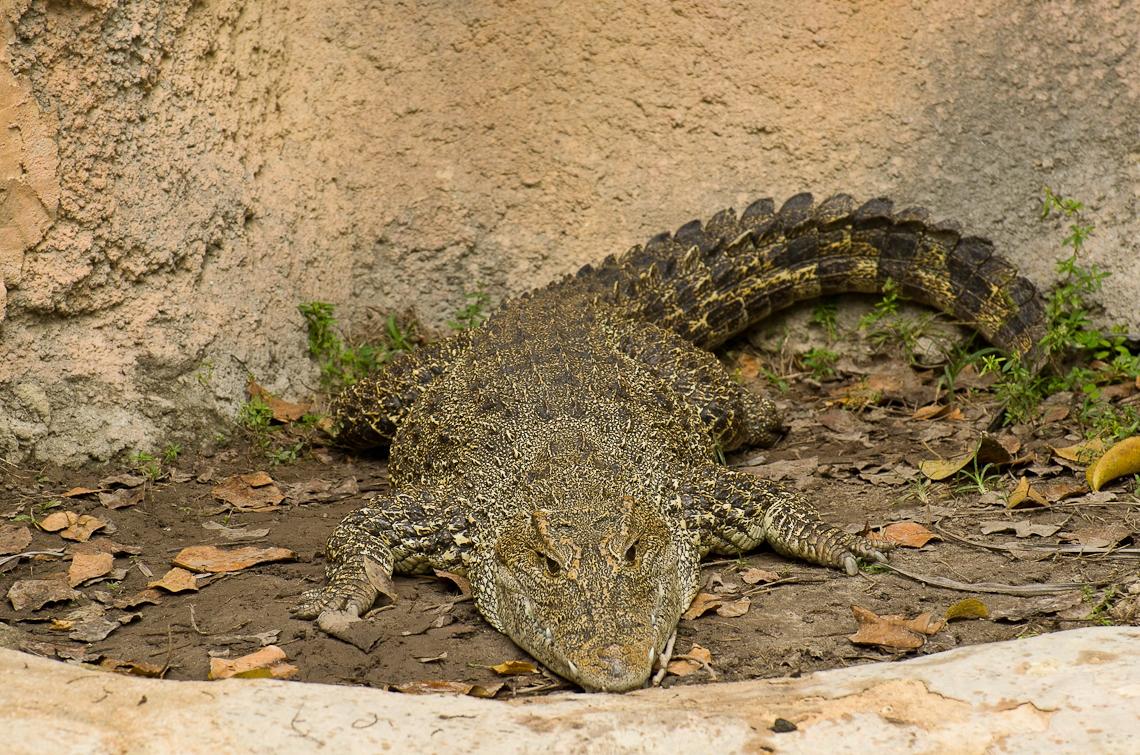 Miami, Zoo, Crocodile