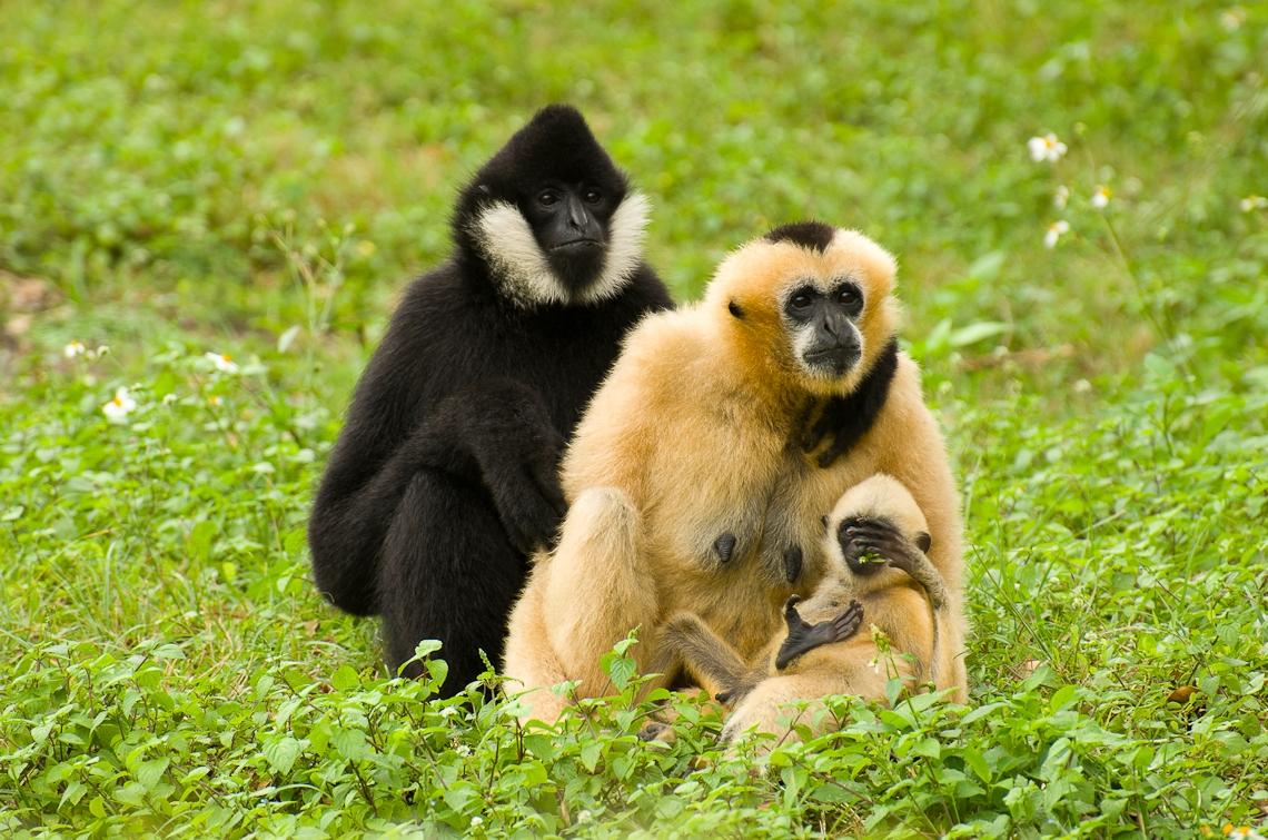 Miami, Zoo, Gibbons family