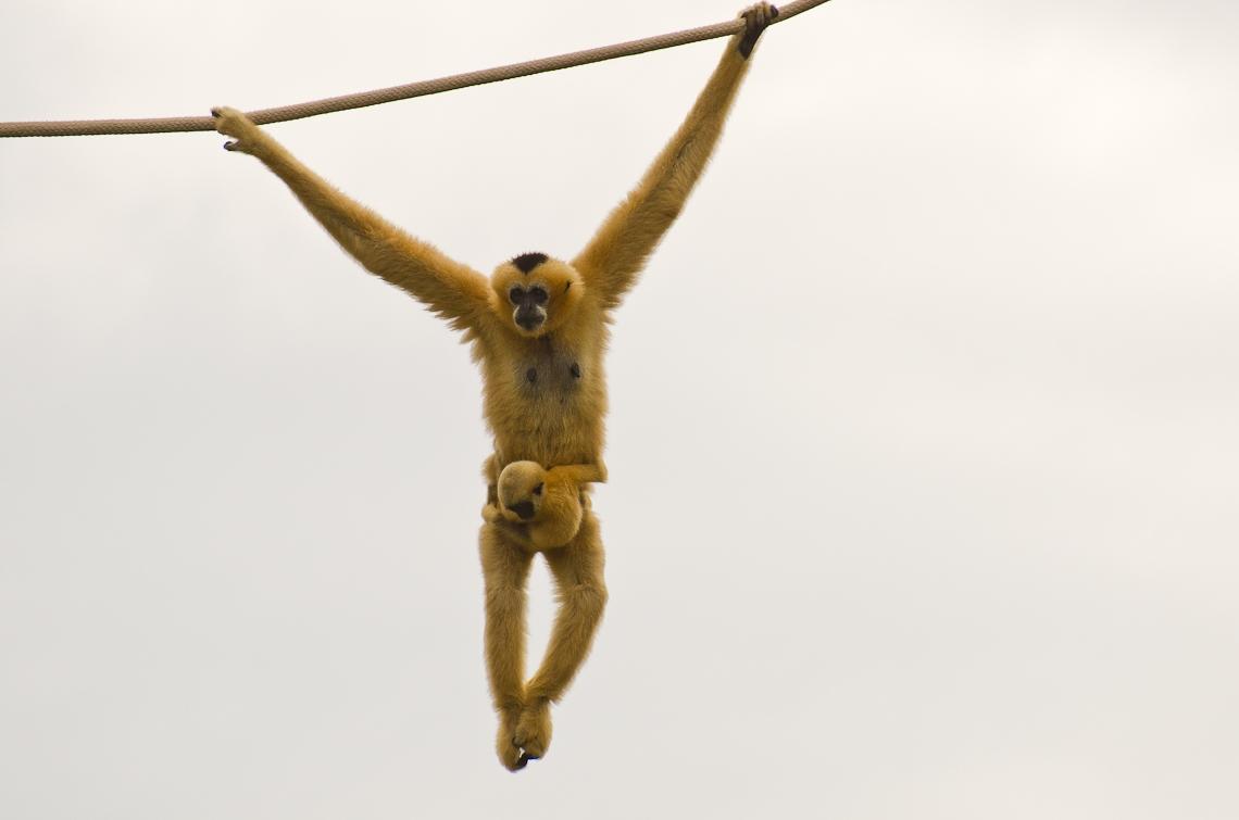 Miami, Zoo, Gibbon