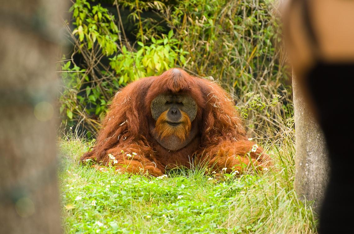 Miami, Zoo, Orangutan