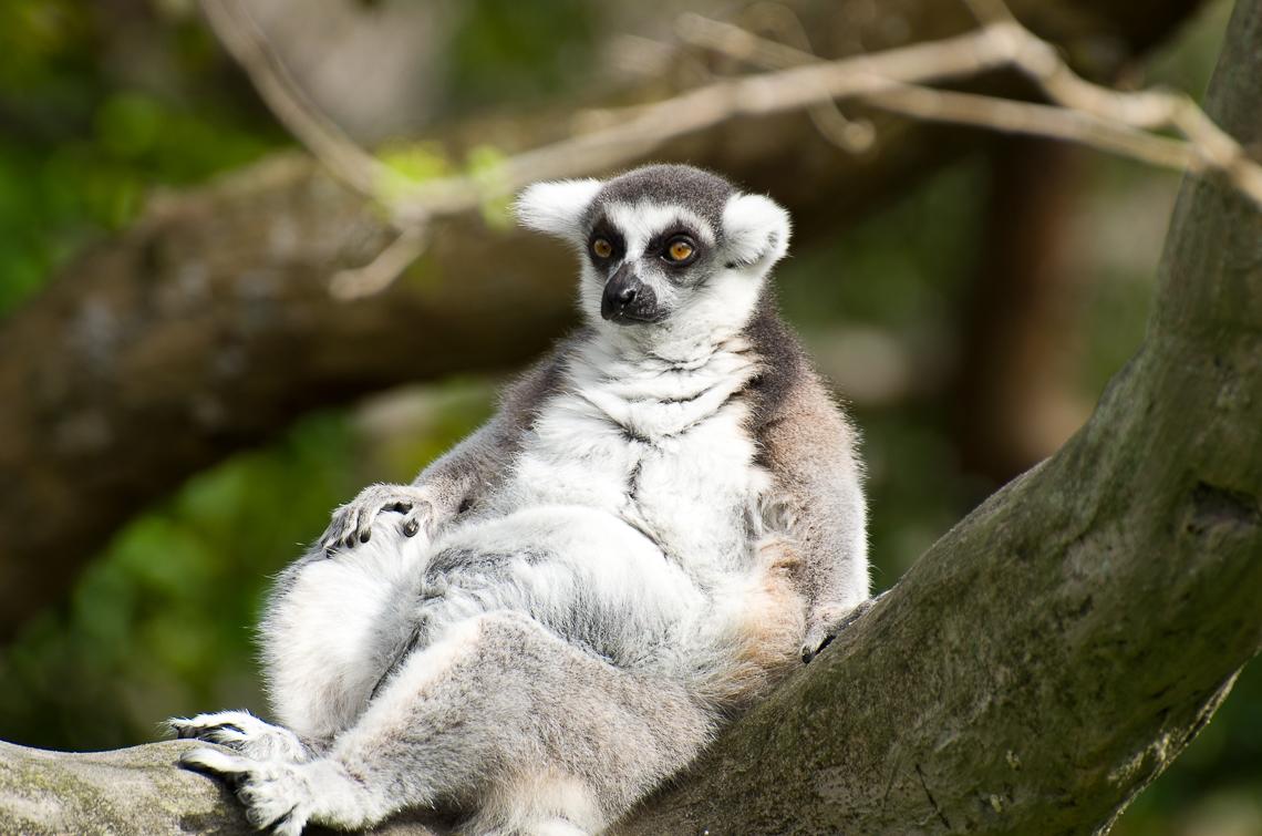 Miami, Zoo, Lemur, Узбагойся