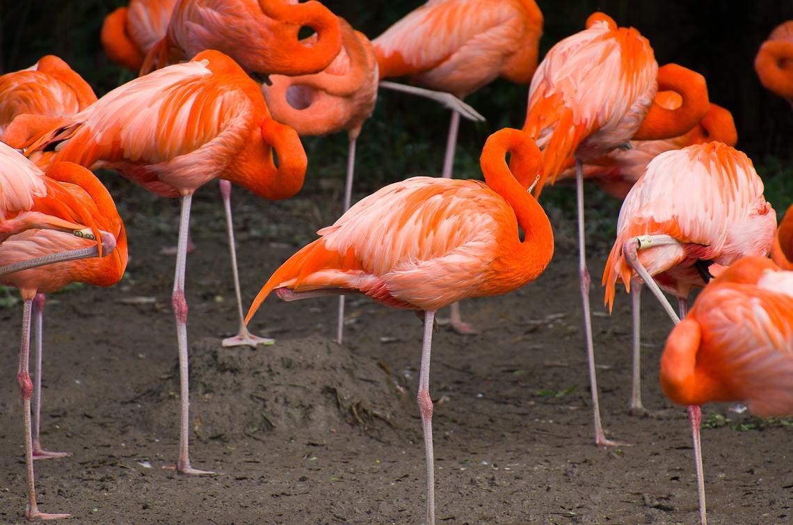 Miami, Zoo, Flamingo