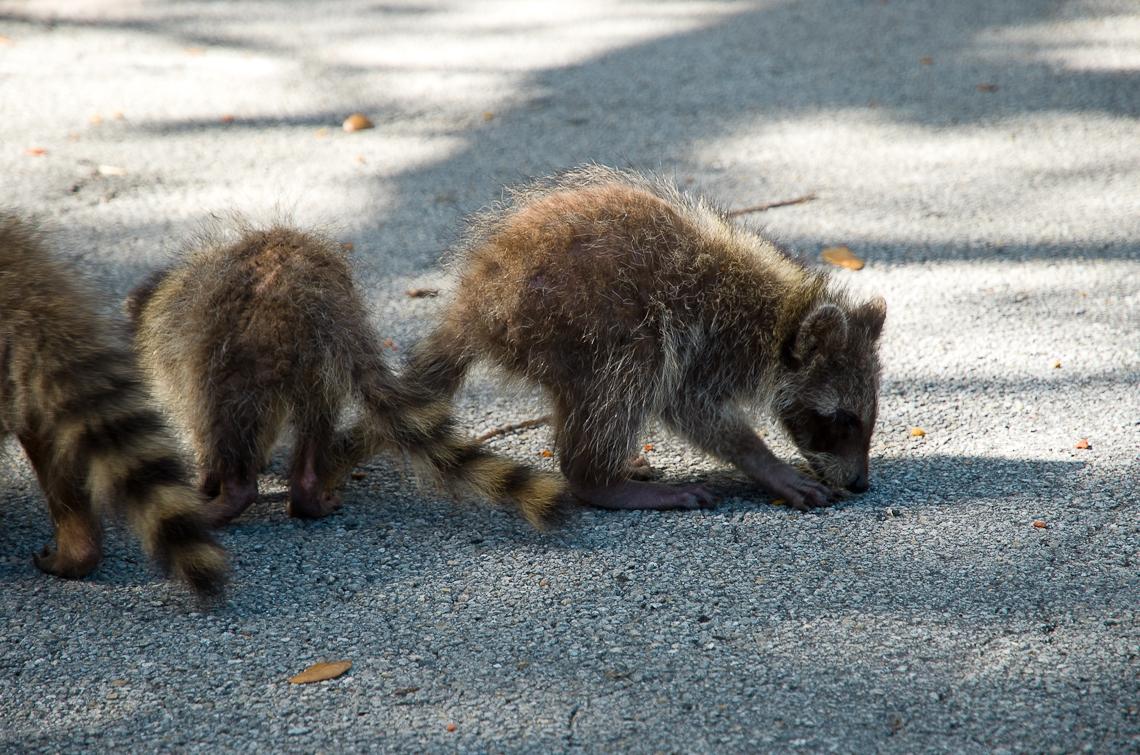 Miami, Greynolds Park, Raccoons