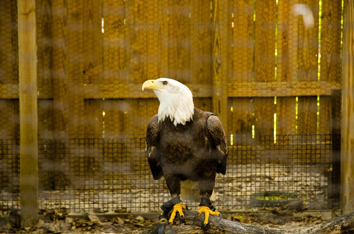Miami, Museum of Science, Bald eagle