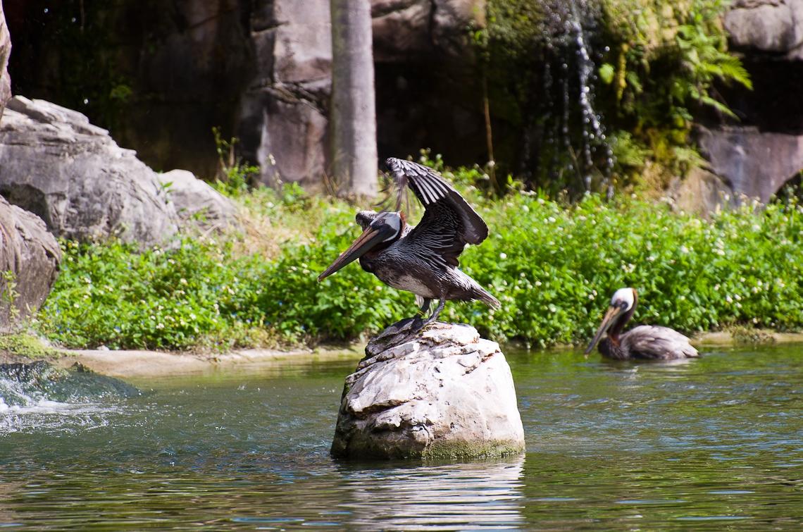 Miami, Zoo, Pelican