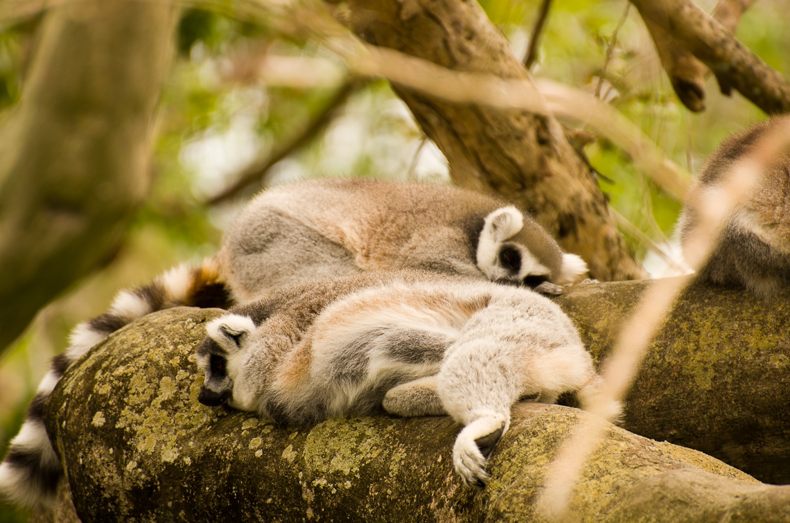 Miami, Zoo, Lemur