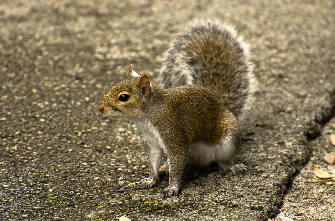 Miami, Zoo, Squirrel