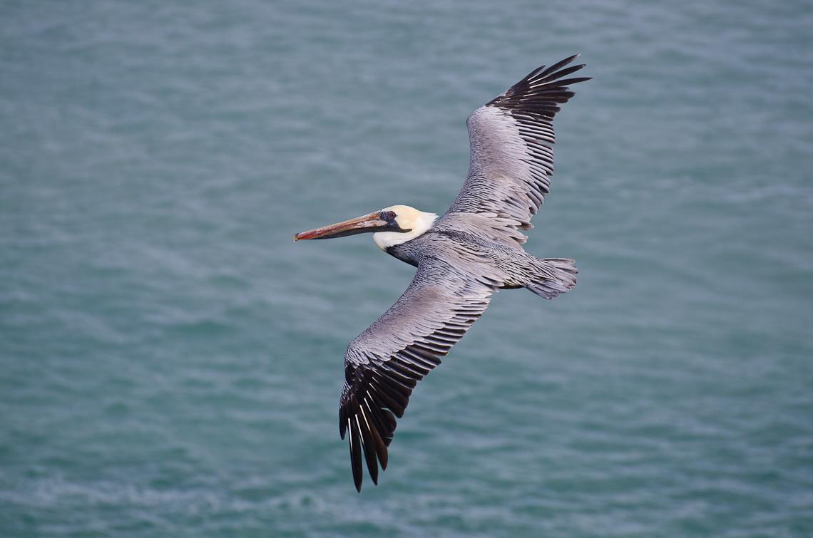 Miami port, Carnival, Pelican / Пеликан
