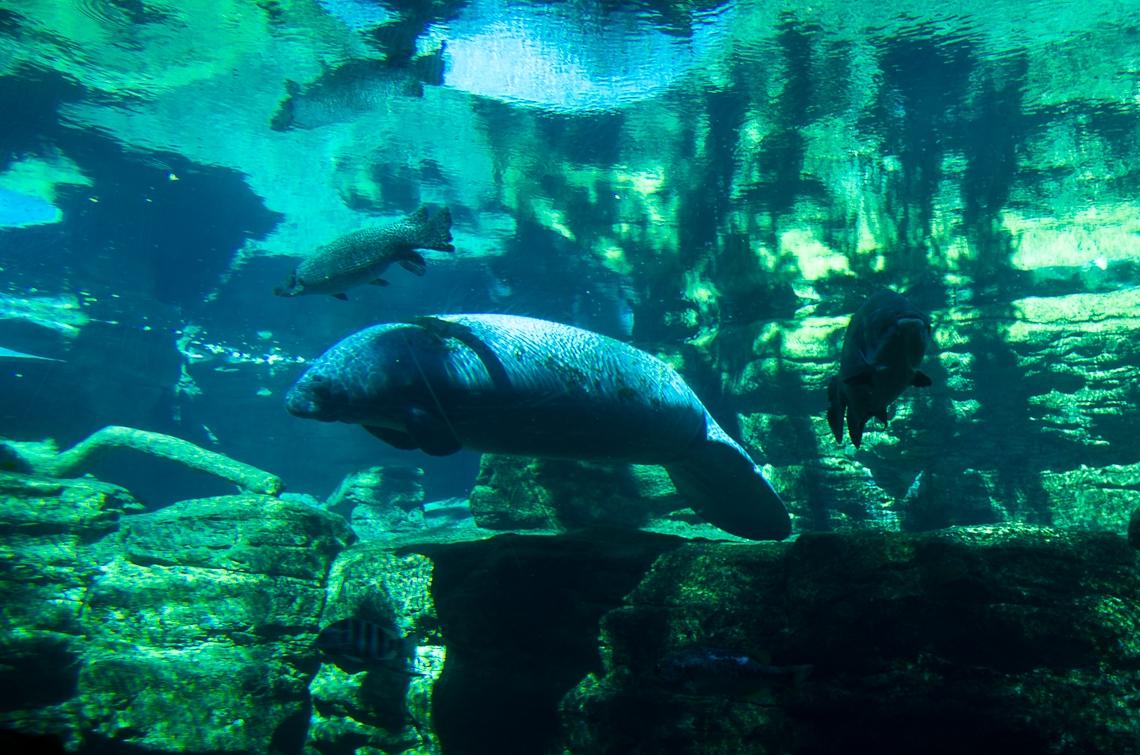 Sea World Orlando, Manatee/ Ламантины